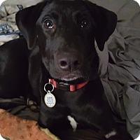 Adopt A Pet :: Dixon - Brattleboro, VT