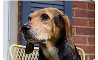 Beagle Mix Dog for adoption in Columbus, Ohio - Flower