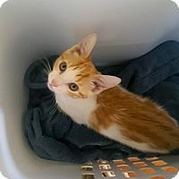 Domestic Shorthair Kitten for adoption in Mississauga, Ontario, Ontario - Val Marie