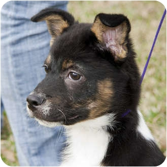 shetland terrier justin adopted dog 393 houston tx sheltie 6603