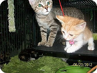 Domestic Shorthair Kitten for adoption in Palm Springs, California - 2 kits are BETTER than 1!!!