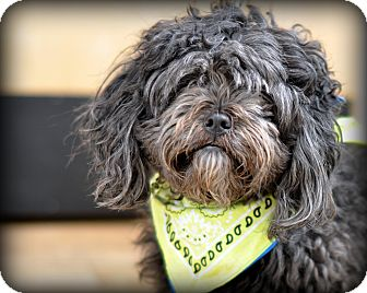 Poodle (Miniature)/Shih Tzu Mix Dog for adoption in Sparta, New Jersey - Robbie