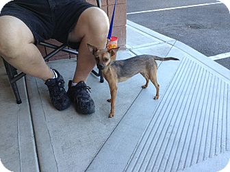 Chihuahua Mix Dog for adoption in Scottsdale, Arizona - Cathy