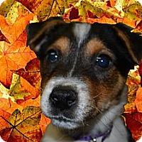 Adopt A Pet :: Ibby - Southampton, PA