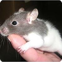 Adopt A Pet :: Smitzy - Cincinnati, OH