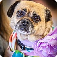 Adopt A Pet :: Vicki Van Gogh - Austin, TX