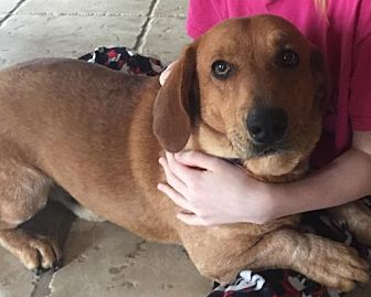 Basset Hound/Labrador Retriever Mix Dog for adoption in Kilgore, Texas - Tyler