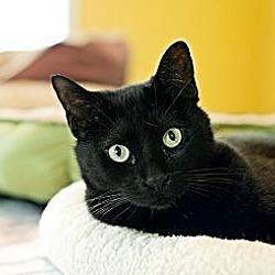 Photo 2 - Domestic Shorthair Cat for adoption in Carencro, Louisiana - Jack Black