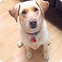 Adopt A Pet :: Samantha in Ct - Manchester, CT
