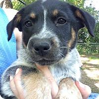 Adopt A Pet :: Scotty - Barnegat, NJ