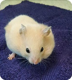 Hamster for adoption in Madison, New Jersey - Dancer