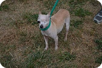 Chihuahua Dog for adoption in Akron, Ohio - Tyke