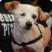 Adopt A Pet :: Ivory - Brooklyn, NY