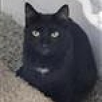 Domestic Shorthair Cat for adoption in Freeport, New York - Tres