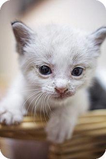 Domestic Shorthair Kitten for adoption in Sterling, Kansas - Cream Puff