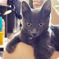 Adopt A Pet :: Pugsly the Perfect Russian Blue - Brooklyn, NY