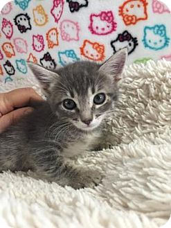 Domestic Shorthair Kitten for adoption in Fountain Hills, Arizona - PIPPA