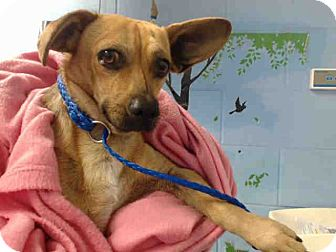 Chihuahua Mix Dog for adoption in San Bernardino, California - URGENT on 10/21 SAN BERNARDINO