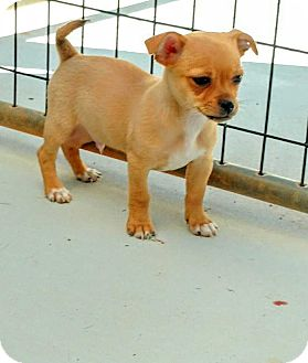 Chihuahua Mix Puppy for adoption in Barnesville, Georgia - Pez