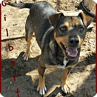 Jack Russell Terrier Mix Dog for adoption in Lawrenceburg, Tennessee - Gilbert