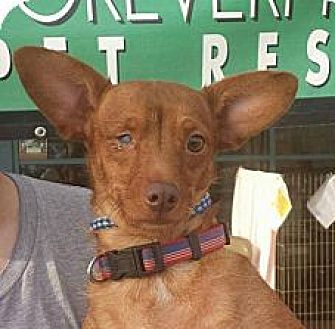 Terrier (Unknown Type, Medium) Mix Dog for adoption in Porter Ranch, California - Astoria