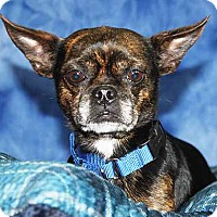 Boston Terrier/Chihuahua Mix Dog for adoption in South Bend, Indiana - Quinn (and Bernie)