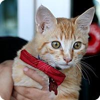 Adopt A Pet :: Tiger - South El Monte, CA