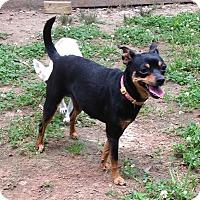 Miniature Pinscher Mix Dog for adoption in Acworth, Georgia - Lucy