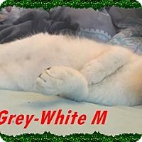 Adopt A Pet :: Cinder - Brandon, FL