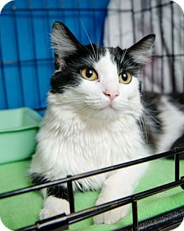 Domestic Longhair Cat for adoption in Gaithersburg, Maryland - Kentucky Blue
