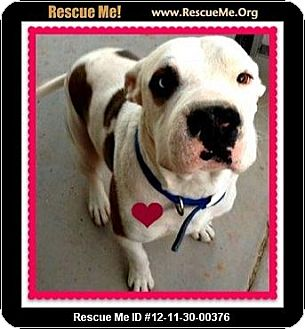 American Bulldog/Great Dane Mix Dog for adoption in Scottsdale, Arizona - Jackson (courtesy)