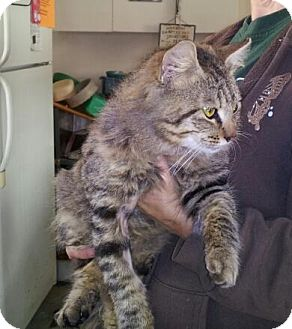 Maine Coon Cat for adoption in Daleville, Alabama - Jax