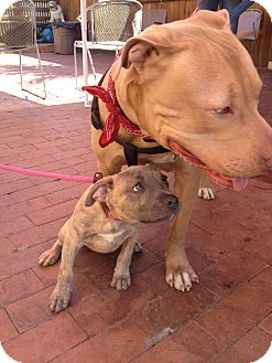 American Pit Bull Terrier Mix Dog for adoption in San Diego, California - Chance