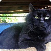 Adopt A Pet :: Teddy Bear - Templeton, MA