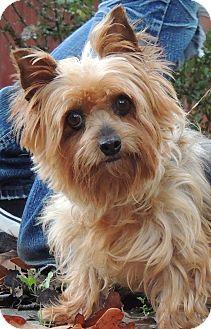 joplin mo   silky terrier meet buttons a dog for adoption