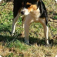 Rat Terrier Mix Dog for adoption in Anderson, South Carolina - Dodge