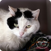 Domestic Shorthair Cat for adoption in Lyons, New York - Bella
