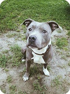 Pit Bull Terrier Dog for adoption in Williston, Vermont - Spike Lee