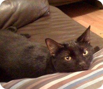 Domestic Shorthair Cat for adoption in Chandler, Arizona - Harvey