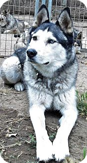Siberian Husky Dog for adoption in Pacific Grove, California - Cooper