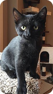 Domestic Shorthair Kitten for adoption in Des Moines, Iowa - Bert