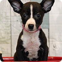 Adopt A Pet :: Lacy - Waldorf, MD