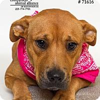 Adopt A Pet :: Suzie - Baton Rouge, LA