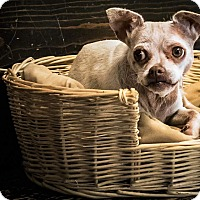 Adopt A Pet :: Cloe - Yelm, WA