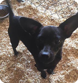 Chihuahua Mix Dog for adoption in PLAINFIELD, Indiana - Toots