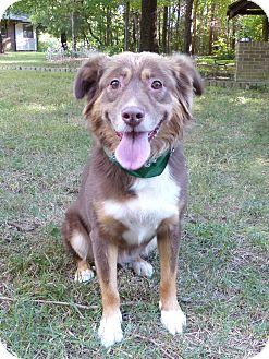 Australian Shepherd/Border Collie Mix Dog for adoption in Mocksville, North Carolina - Kate
