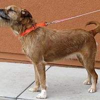 Border Terrier/Boxer Mix Dog for adoption in Santa Monica, California - Amy (aka Chewie Chewbacca)