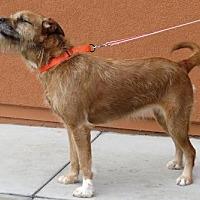Adopt A Pet :: Amy (aka Chewie Chewbacca) - Santa Monica, CA