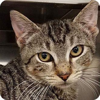 Domestic Shorthair Kitten for adoption in New York, New York - Abby