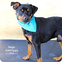 Adopt A Pet :: SAGE - Conroe, TX
